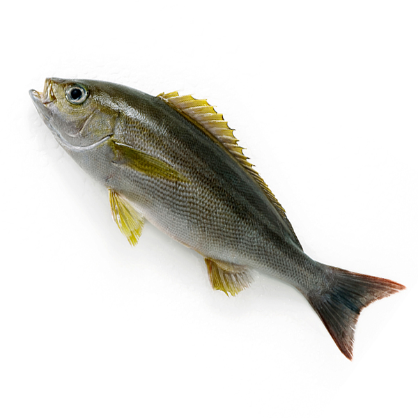 お刺身よし 焼いてもよし アクアパッツァにもぜひどうぞ 天然 イサキ1尾 0.4-0.5kg前後サイズ 国産 冷蔵便 下処理可 送料0円 刺身 伊佐木 ウロコ取り いさき 鮮魚 マート 三枚おろしor内蔵 エラ