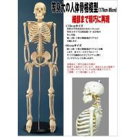 人体模型シリーズ 人体骨格模型85cm【05P03Dec16】