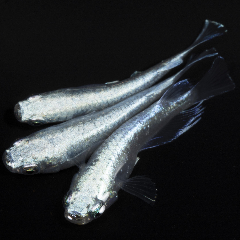 1000坪の養殖場で健康に育ったメダカを直送 13時までの注文は即日配送 本州翌日着 メダカ 生体 プラチナ星河 めだか いつでも送料無料 激安特価品 送料無料 種類 稚魚10匹 安心保障2匹追加で入ってます