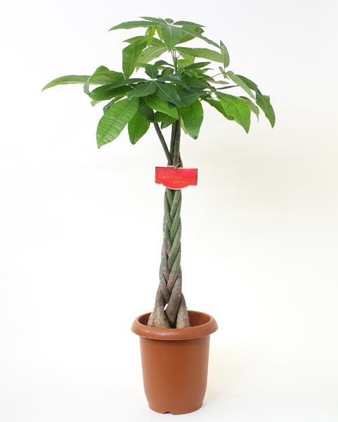 パキラ 観葉植物(生花)8号プラ鉢高さ約110cm