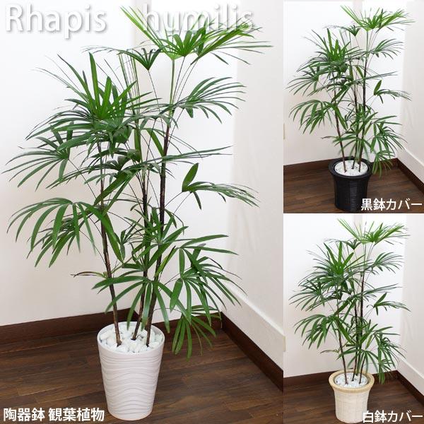 シュロチク 白陶器鉢高さ110cm~125cm白陶器鉢+鉢カバー黒or白生花 観葉植物