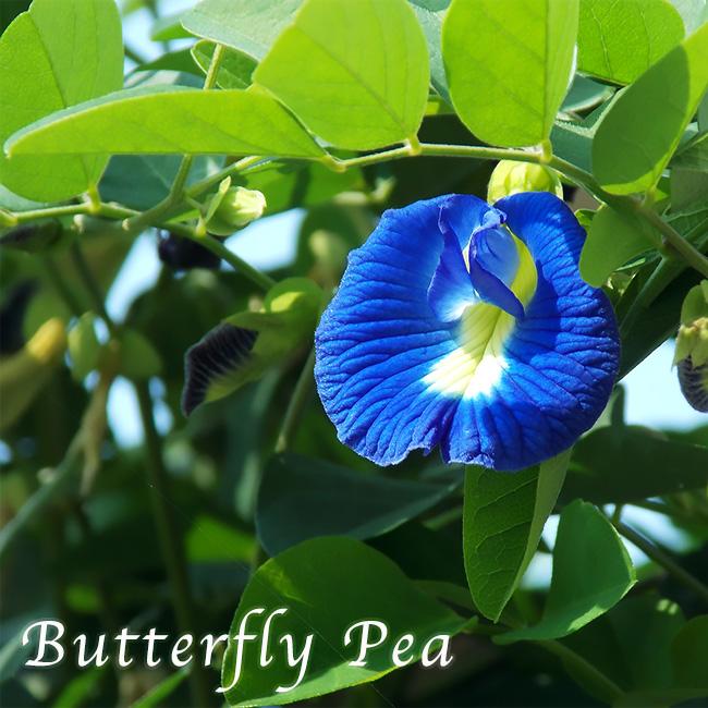 天然色素100% 青い紅茶 ハーブティが楽しめるグリーンカーテン 今季も再入荷 バタフライピー 3号ポット苗 一部予約 一重咲き