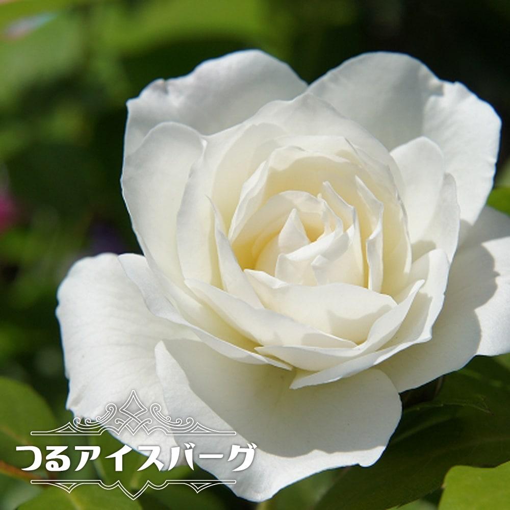 バラ苗 つるアイスバーグ 白色 強健 バラ 限定モデル 苗 つる性 ツルバラ つるばら 薔薇 激安セール フェンス 壁面仕立て 予約販売12~翌1月頃入荷予定 初心者に超おすすめ np 耐陰性 大苗 つるバラ アーチ