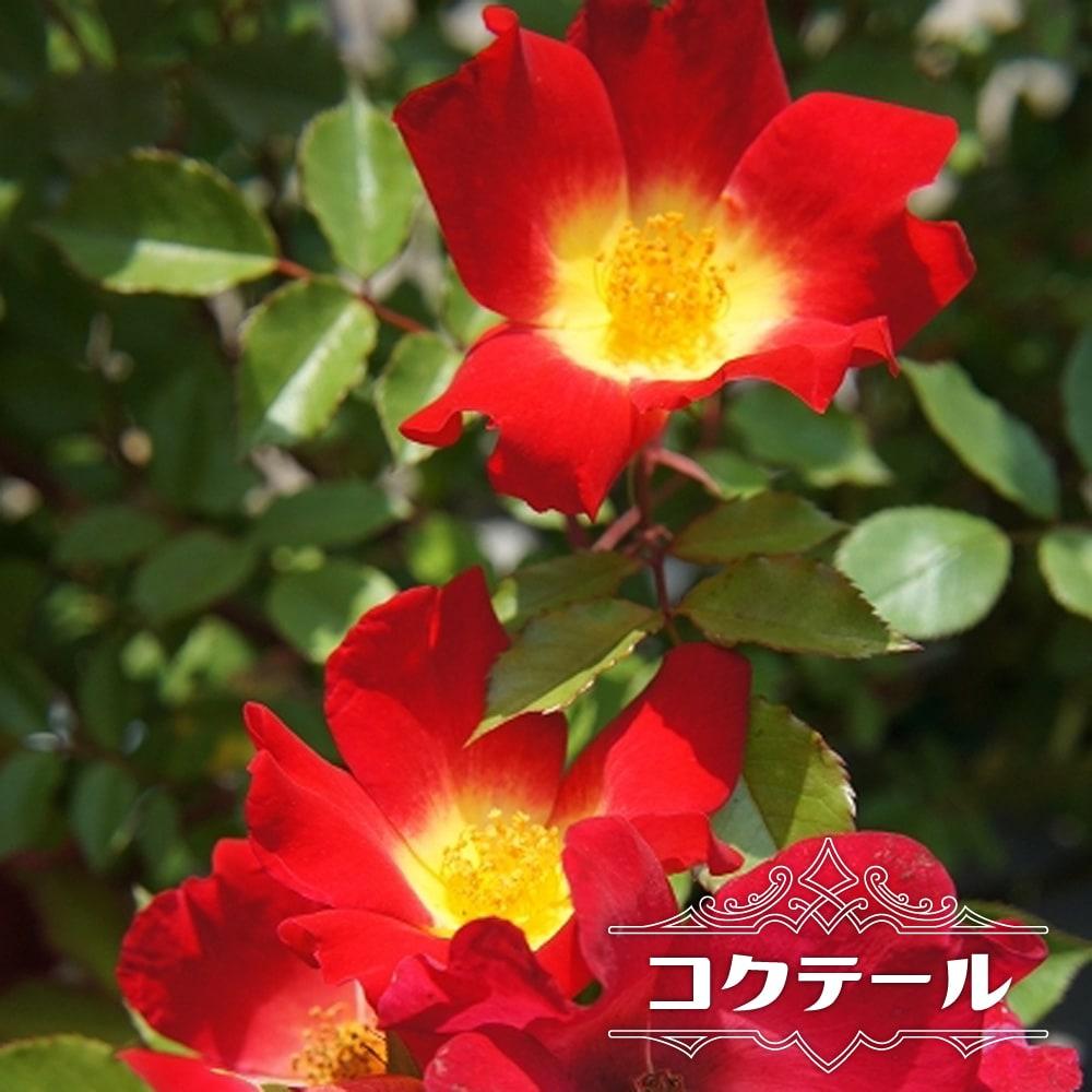 バラ苗 コクテール カクテル 初心者に超おすすめ トゲが少ない 耐陰性 四季咲き 買物 保証 赤色 バラ 苗 つるバラ 薔薇 つるばら ツルバラ np 大苗 予約販売12~翌1月頃入荷予定 アーチ フェンス