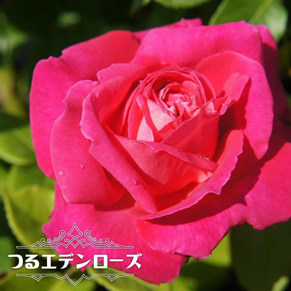 楽天市場】【バラ苗】 つるエデンローズ 大苗 つるバラ ピンク 強香 ...