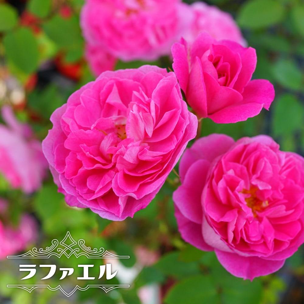 木立バラ 河本バラヘブンシリーズ ゆったり広がる花弁が素敵なバラです 大苗 四季咲き ピンク バラ お買い得品 河本バラ園 バラ苗 薔薇 SEAL限定商品 バラ苗木 苗 ラファエル