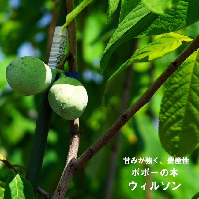 【ポポー ルートポーチ植え】ウィルソン 2年生 接ぎ木 苗 果樹 果樹苗木