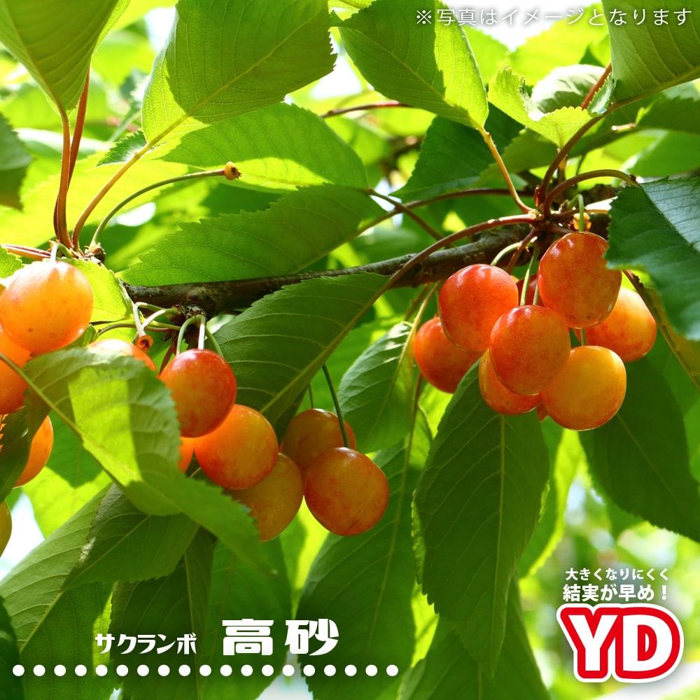 苗木 さくらんぼ