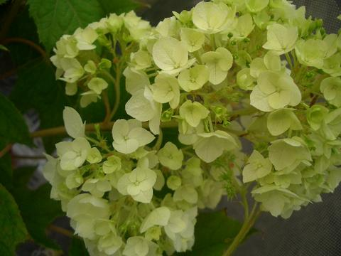 绣球花幼苗矮绣球冠潜蛾和谐 4 罐幼苗绣球树落叶灌木