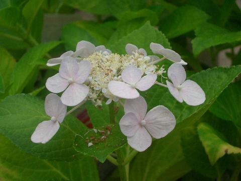 紫阳花苗5号暖水瓶苗紫阳花园艺树木落叶树矮树