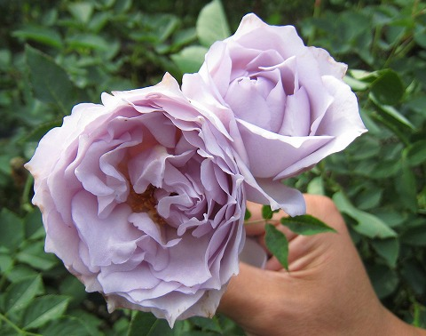 Lucifer ( komoto rose garden haven series) domestic seedlings onae No. 6 pot roses blue-violet color strength incense rose seedlings rose