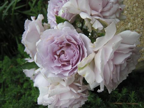 Lucifer ( komoto rose garden haven series) domestic seedlings onae No. 6 pot roses blue-violet color strength incense rose seedlings rose
