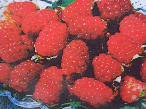 泰国的浆果萨拉苗果园苗果树苗