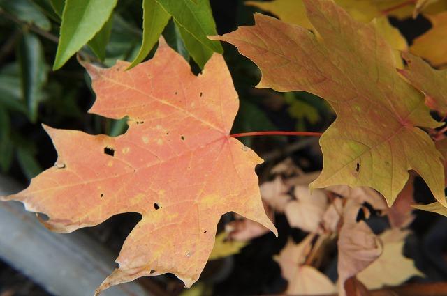 糖槭实生苗树落叶树符号树枫幼苗图片