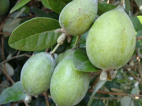 Feijoa Trask freshman grafted seedling Orchard seedlings fruit seedlings