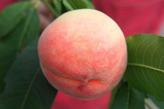 桃子苗日期河白凤(hikawahakuho)一年级生接枝苗果树树苗果树苗桃子