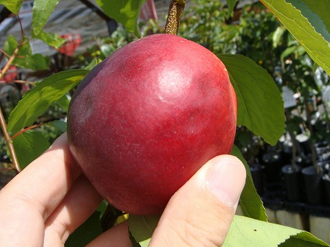 Peach seedling nectarine fantasia first grader grafted tree seedling fruit tree young plant fruit tree seedling peach