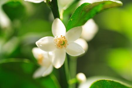 Limited ■ ■ shikuwasa grafted long slit pot seedling fruit seedlings fruit seedlings