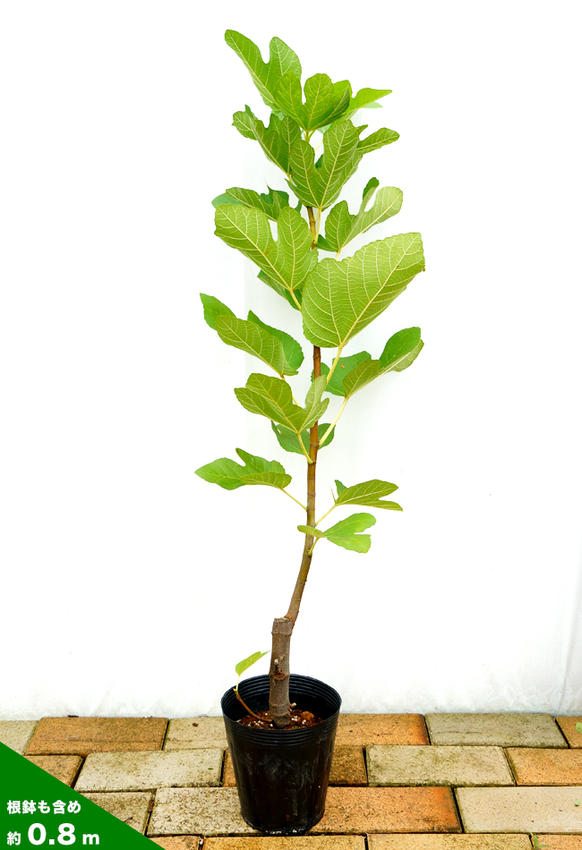 Fig seedlings Pastilla 2 years pot seedlings fruit saplings fig fruit tree seedlings