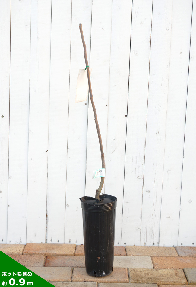 (牡蛎) 柿苗增殖细胞核抗原 (泰州) 一年级嫁接苗果园水果苗