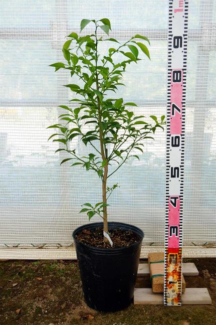 Citrus seedlings shikuwasa three years students grafted onae fruit trees fruit tree seedlings citrus citrus