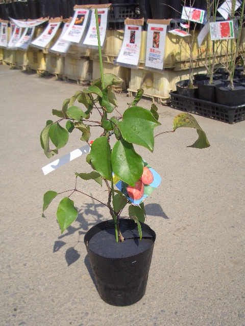 Stauntonia hexaphylla seedling 5 pot seedling fruit tree young plant fruit tree seedling むべ