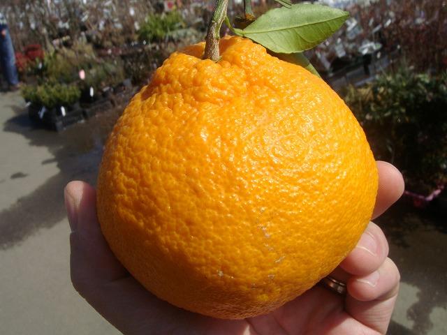 柑橘类树苗早产dekopon一年级生接枝苗果树树苗果树苗柑橘苗柑桔