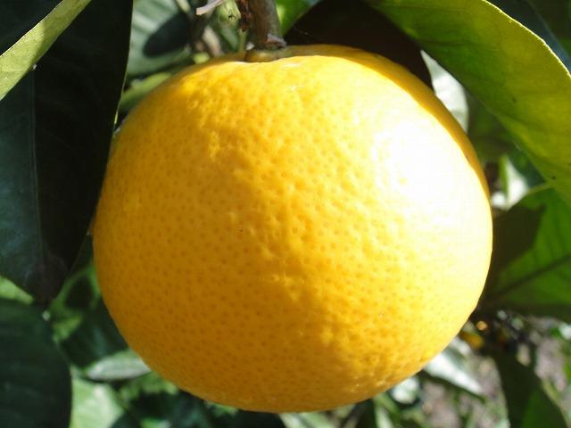 Hassaku orange (it blooms) second grader grafted tree seedling fruit tree young plant fruit tree seedling