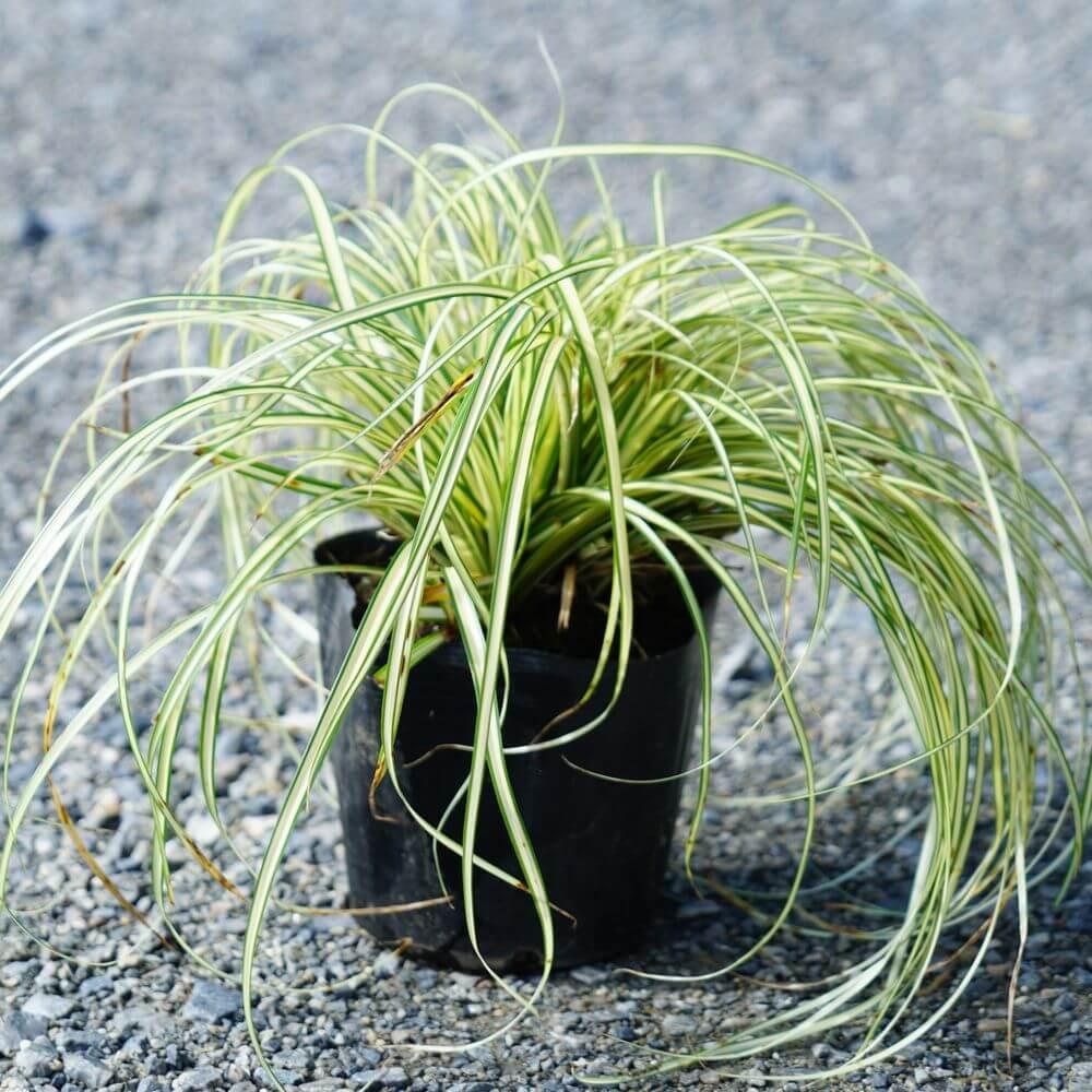 Carex oshimensis Evergold  come da foto