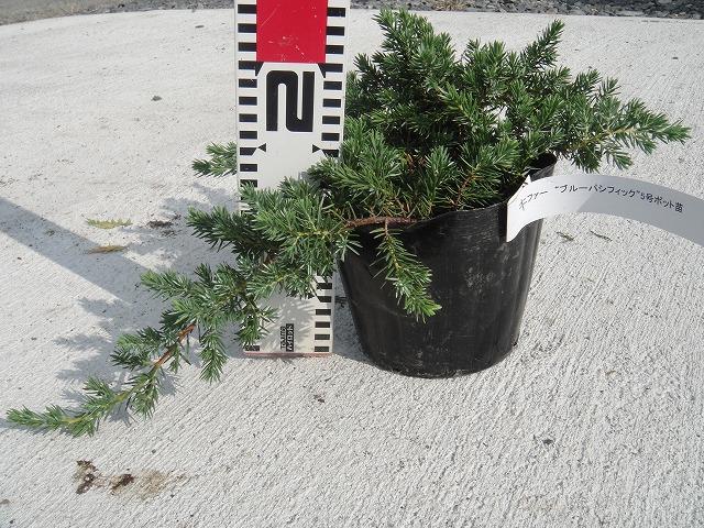 针叶树太平洋蓝色 # 5 苗树地面锅盖。