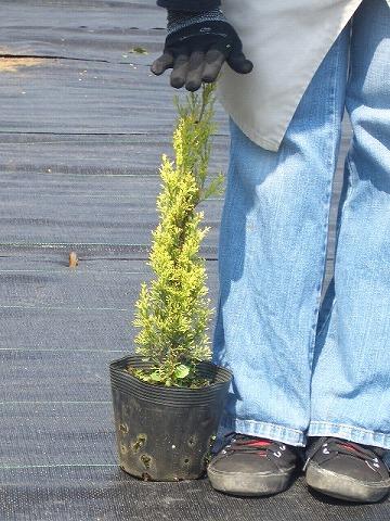 konifasuwanzugoruden 5号暖水瓶苗园艺树木