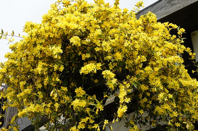 hanaonline  rakuten global market carolina jasmine  pot onae, Beautiful flower