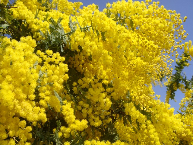 Hana Online Mimosa Acacia 1st Pot Seedling Symbol Tree Garden