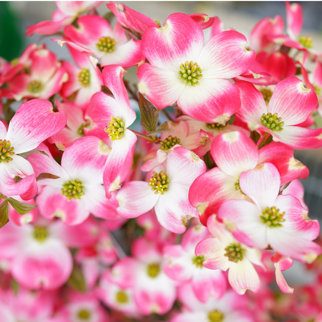 American dogwood young plant youth Miss pink grafted tree pot seedling garden tree deciduous tree symbol tree
