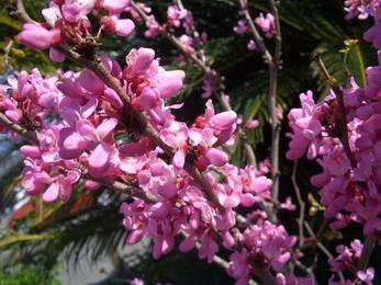 红花紫荆树落叶灌木