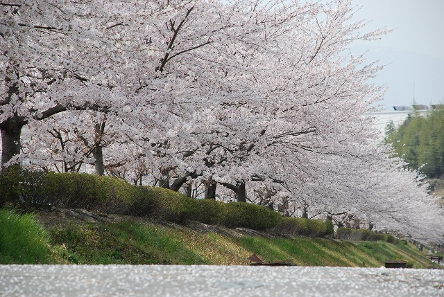 Hana Online Cherry Tree Young Plant Yoshino Somei Sakura