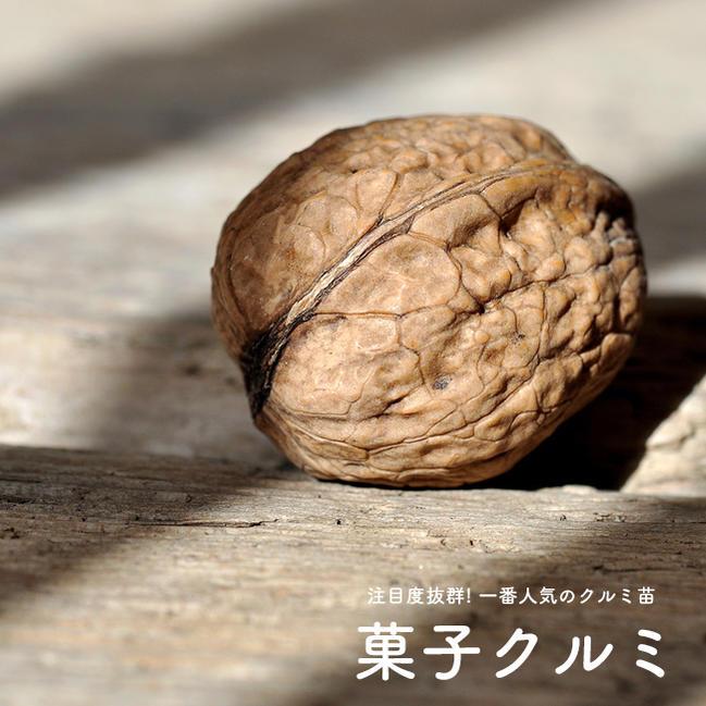 Cacyclemi (Walnut cake) grade seedling fruit trees fruit seedlings but of  walnut trees