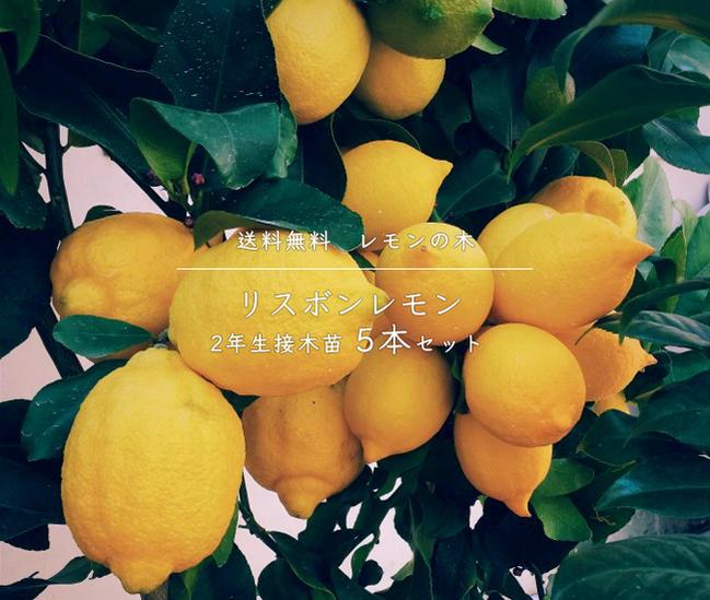■送料無料■ レモンの木 リスボンレモン 2年生 接木苗 5本セット 果樹苗木 果樹苗 れもん 檸檬 レモン 苗