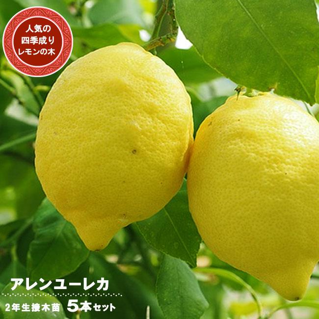 ■送料無料■ レモンの木 アレンユーレカレモン 2年生 接木苗 5本セット 果樹苗木 果樹苗 れもん 檸檬 レモン 苗
