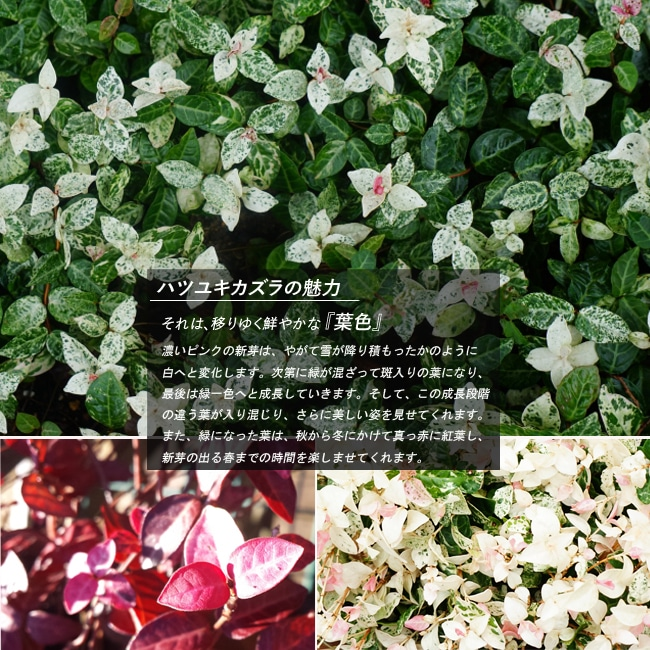 Hatsuyukikazra 5 Pot Onae Perennial Plants Hardy Evergreen Ground Cover Shade