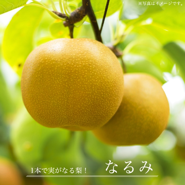 梨 なし 特売 なるみ 1本で実がなります 果樹苗 ナシ 3年生接木1m大苗 予約販売9~10月頃入荷予定 1.0m苗 産地で剪定済 再販ご予約限定送料無料