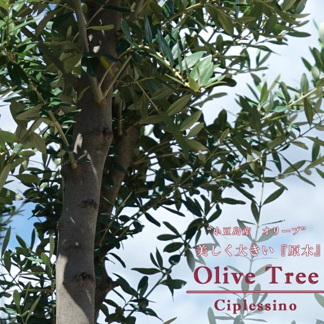 【小豆島産 オリーブの原木】 ■送料無料■ オリーブの木 チプレシーノ(シプレシーノ)特大苗B3 シンボルツリー 【西濃運輸お届け】 【北海道、沖縄、離島不可】