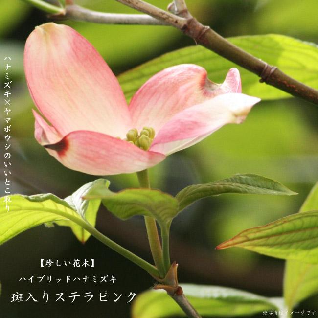 斑入りステラピンク ハナミズキ ヤマボウシ 苗 販売