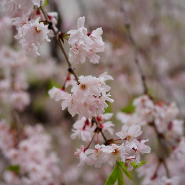 桜 八重紅しだれ 苗 販売