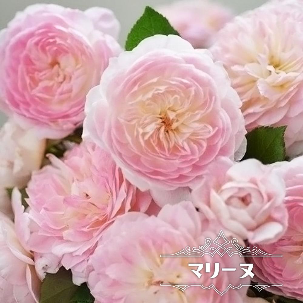 レースのようなふわふわした花姿 バラ苗 マリーヌ 大苗 河本バラ園 予約販売12~翌1月頃入荷予定 注文後の変更キャンセル返品 ピンク 四季咲き バラ苗木 出色 薔薇