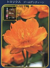 tororiusu(kammurikimbai)黄金的女王暖水瓶苗投宿处根草苗多年草耐寒性