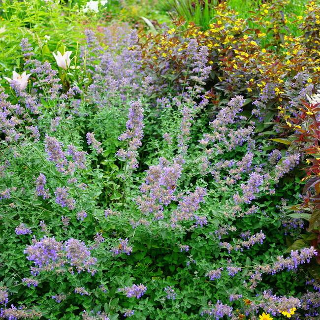 ネペタ Cat Mint Six Hills Giant Pot Seedling Perennial Plant Cold Proof Related Evergreen Ground Cover