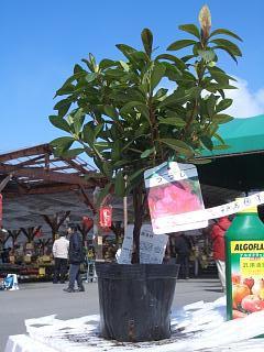 Azalea hirado azalea No.4 pot azalea seedling trees Evergreen ground cover shrub garden evergreens