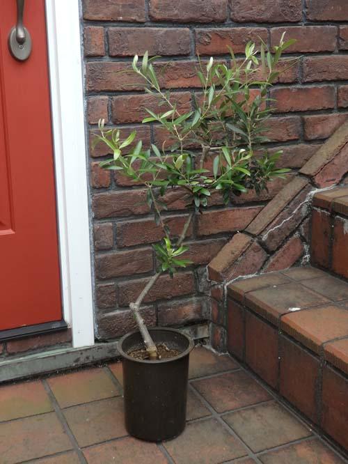 オリーブ ガーデニング ガーデン 苗木 ギフト【花遊び】『オリーブの木・ネバティロブランコ・B』同梱ご希望でも、別途送料が発生致します。沖縄、離島への配送はお受けできません。