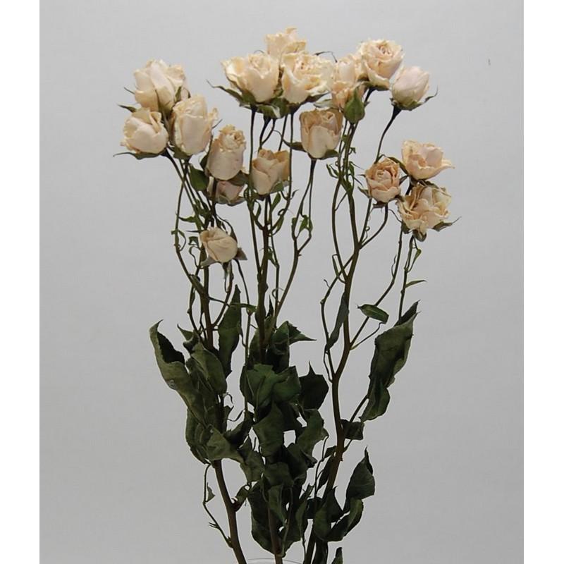 【ドライ】コアトレーディング/スプレーローズ・ホワイト系 2~3本 ナチュラル/17824【21】【21】【取寄】[10束]《 ドライフラワー ドライフラワー花材 バラ(ローズ) 》